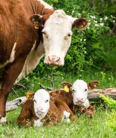cow mom and twins-1.JPG