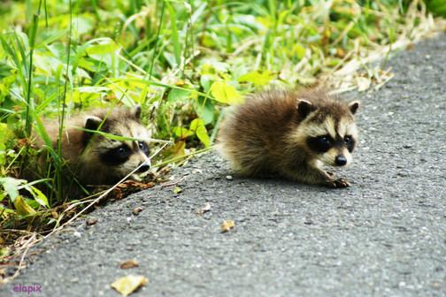 racoon babies-1.jpg