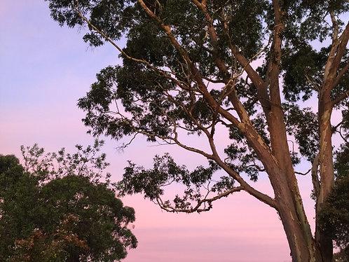 Pure Blue Gum Eucalyptus Essential Oil 15ml