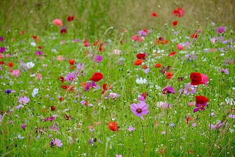 Cotswold flower meadow