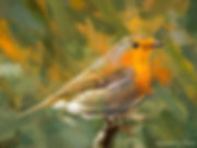 Bird painting canvas print - EUROPEAN ROBIN