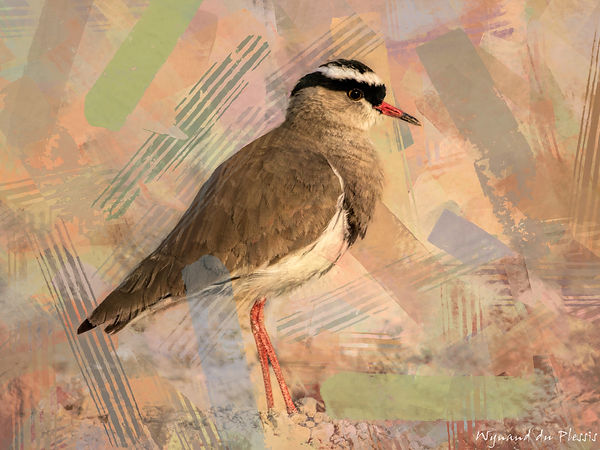 Bird Photo Art - Crowned lapwing - fine art prints on the Art Print Media of your choice