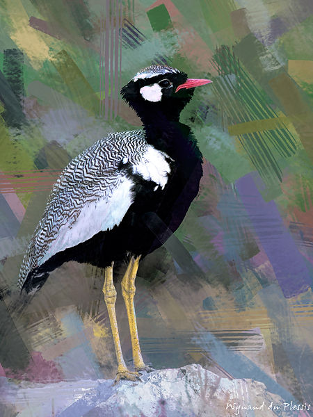 Bird painting printed on canvas - NORTHERN BLACK KORHAAN