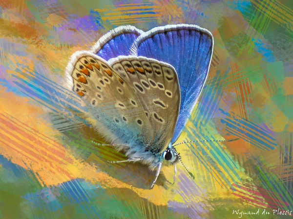photoart-12_001 COMMON BLUE BUTTERFLY --- Polyommatus icarus