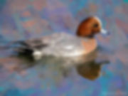 Bird art painting printed on canvas - EURASIAN WIGEON