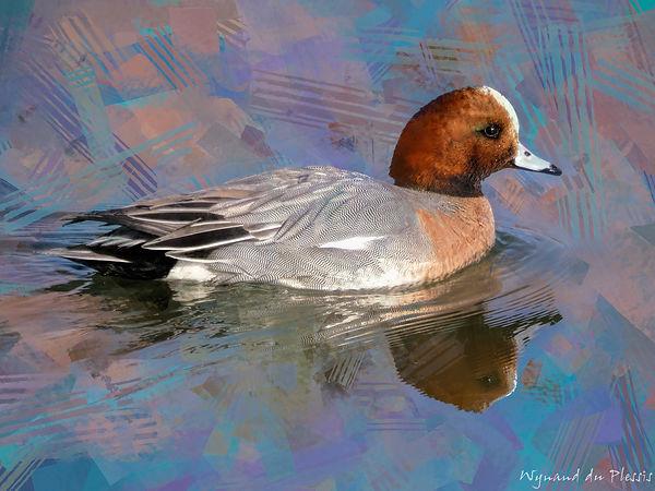 Bird Photo Art - Eurasian wigeon - fine art prints on the Art Print Media of your choice