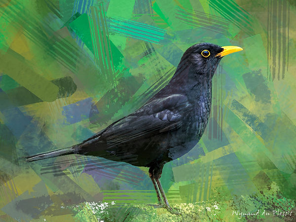 Bird Photo Art - Blackbird - fine art prints on the Art Print Media of your choice