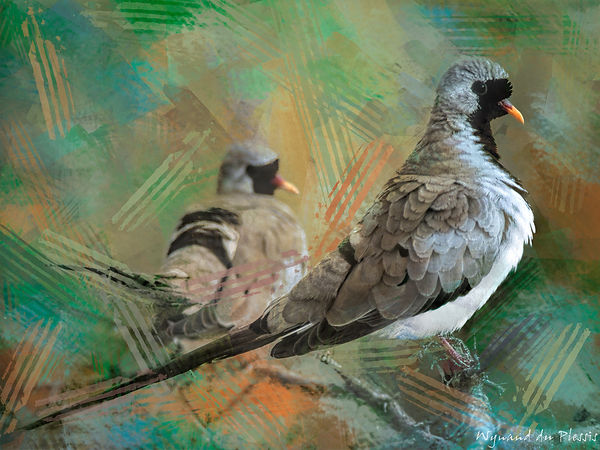 Bird photo to bird art printed on canvas - NAMAQUA DOVE