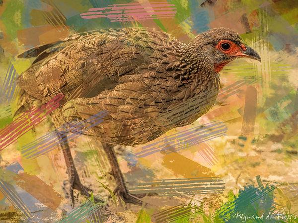Bird Photo Art - Swainson's spurfowl - fine art prints on the Art Print Media of your choice