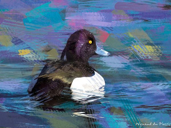Bird Photo Art - Tufted duck - fine art prints on the Art Print Media of your choice