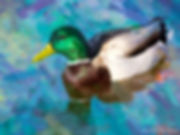 Bird painting printed on canvas - MALLARD DUCK