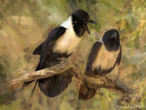 Bird Photo Art - Pied crow - fine art prints on the Art Print Media of your choice
