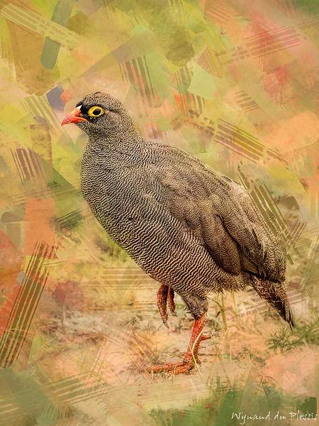 Bird Photo Art - Red-billed spurfowl - fine art prints on the Art Print Media of your choice