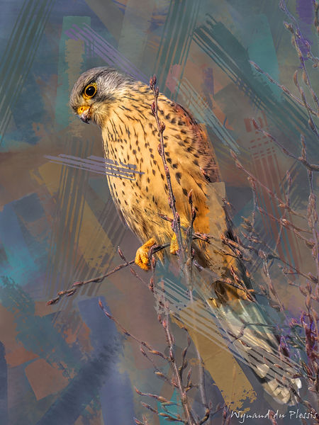 Bird Photo Art - Eurasian kestrel - fine art prints on the Art Print Media of your choice