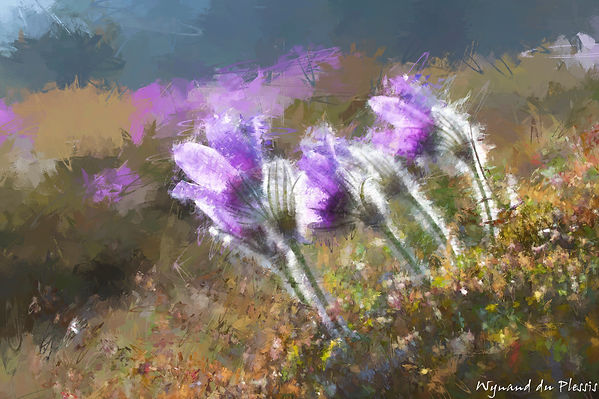 Luxury Fine Art Prints - PASQUE FLOWERS