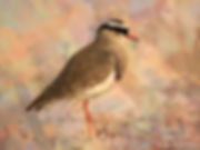 Bird art painting printed on canvas - CROWNED LAPWING