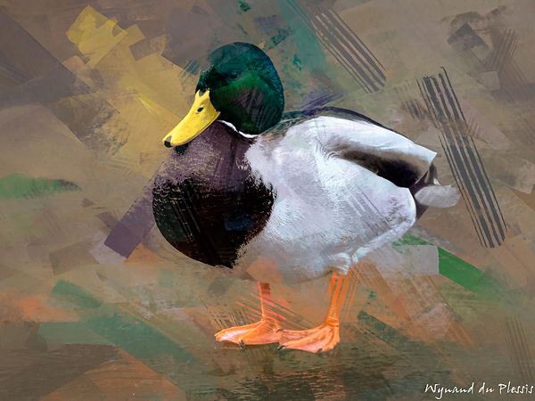 Bird Photo Art - Mallard duck - fine art prints on the Art Print Media of your choice