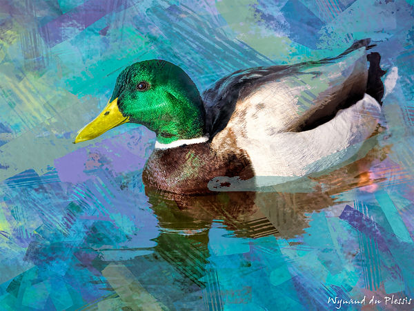 Bird Photo Art - Mallard duck - fine art prints on the Art Print Media of your choice