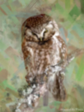 Bird painting printed on canvas - BOREAL OWL
