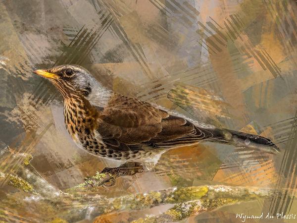 Bird Photo Art - Fieldfare - fine art prints on the Art Print Media of your choice