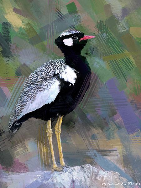 Bird Photo Art - Northern black korhaan - fine art prints on the Art Print Media of your choice
