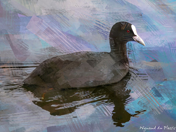 Bird painting canvas prints - EURASIAN COOT