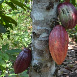 דברים שלא ידעתם על עץ הקקאו