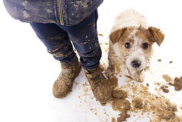 Dirty dog and kid. Guilty jack russell a