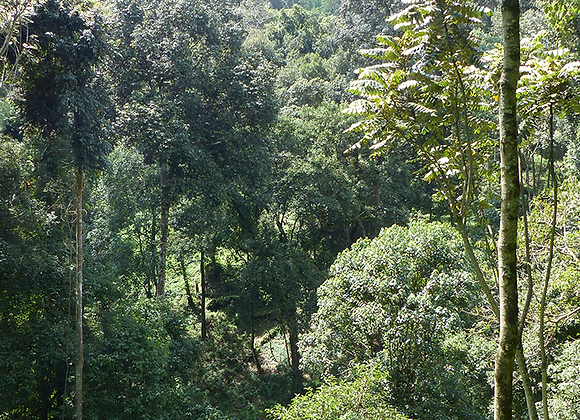 Tula, café arabica d'Ethiopie