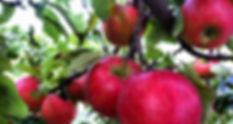 amos-honey-crisp-apples-1024x544.jpg