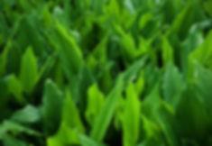 Turmeric Plants to Grow.jpg