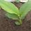 Thumbnail: One American Grown Organic Turmeric Plant - Great Source of Curcumin
