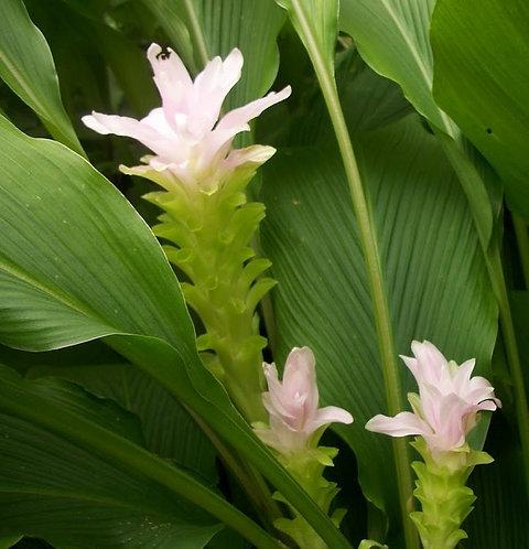 Three American Grown Turmeric Plants - Great Source of Curcumin
