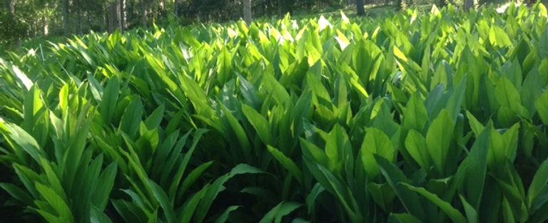Turmeric Leaves.JPG