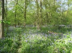 Bluebells carpet the woodland floor