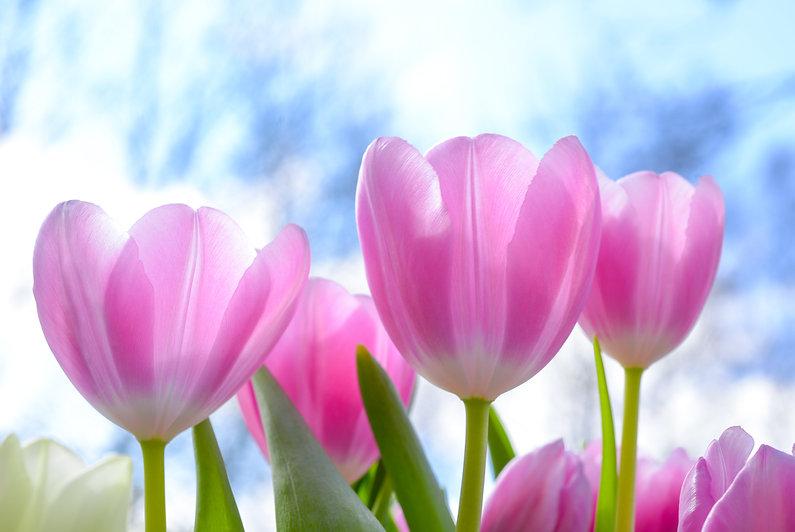 pink-tulip-flowers-under-white-clouds-bl