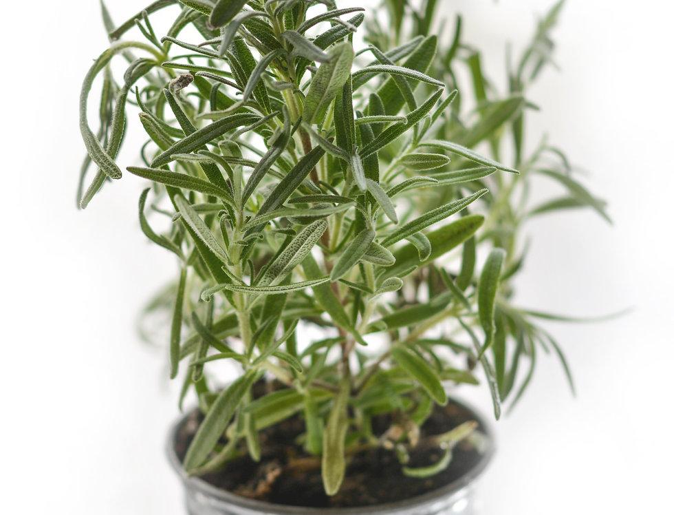 Rosemary & Eucalyptus