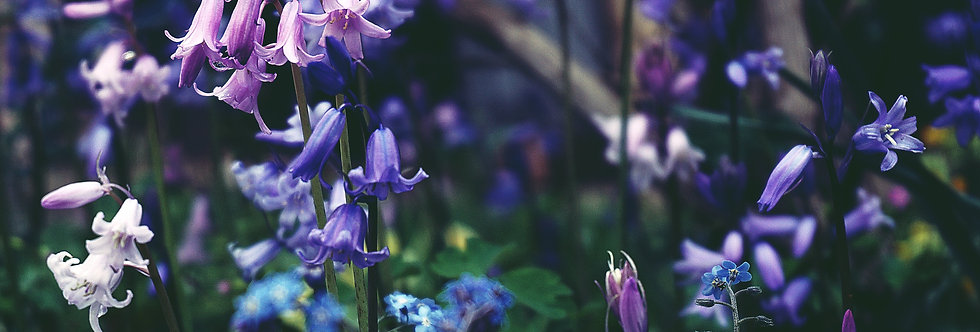Woodland Bluebell