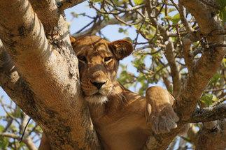 Africa tours - travel to Uganda safari and lion