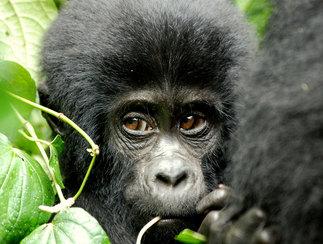 Visit Rwanda's rainforests and gorillas on vacation