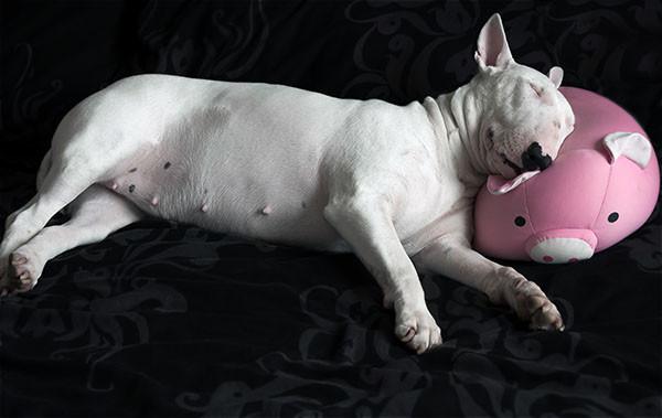 faithful-companions-dog-rescue-bull-terrier