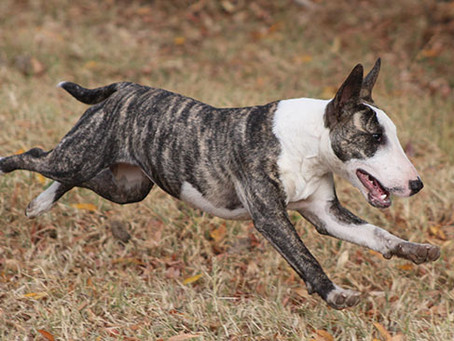 What Is a Bull Terrier?