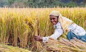 RiceHarvest-945x570.jpg