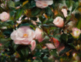 Camellias_website_image.jpg