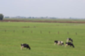 Multiple cows and grass.jpg