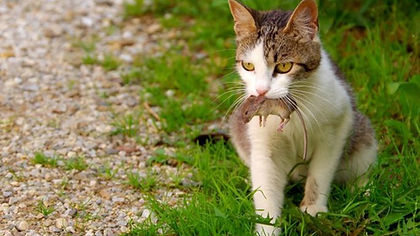 Cat mouse picture.jpg