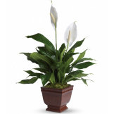 Lovely One Spathiphyllum