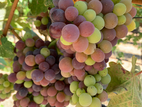 Veraison Season: Our Grapes are Changing Colors!