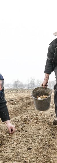 Openshaw_F.Robert_Planting Potatoes-2.jp