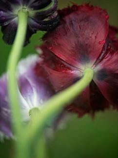 "Teddi Zonker ""Tulips"""